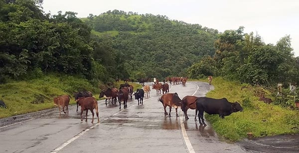 free cattle problem_1&nbs