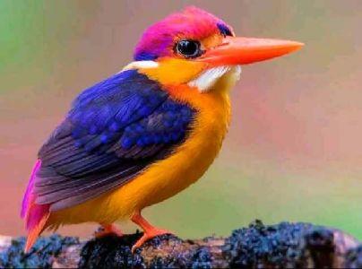 'तिबोटी खंड्या' रायगडचा जिल्हा पक्षी घोषित!